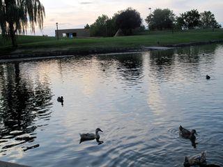 Duck love