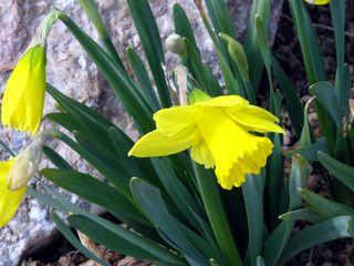 Yellowdaffs1