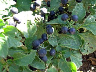 Huckleberrybush
