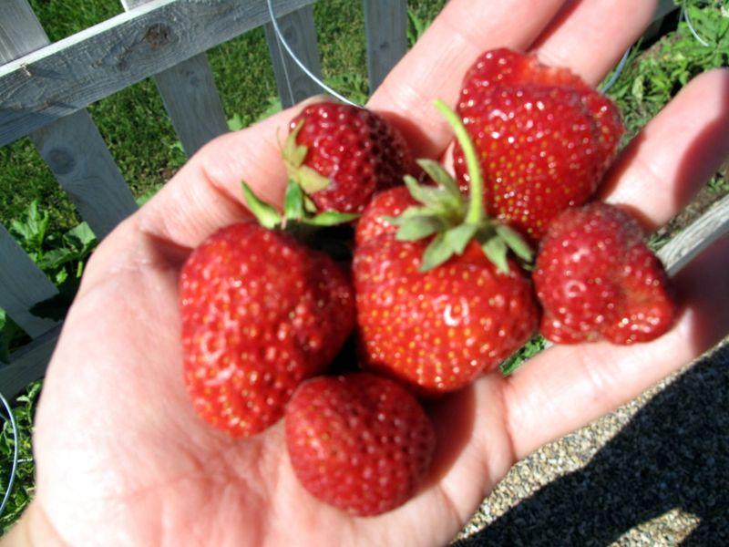 Handfullberries