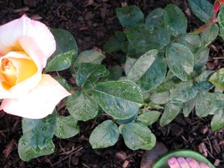 Yellowrosetoes
