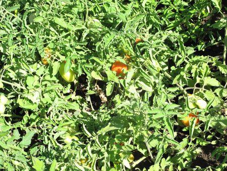 Tomatofriends