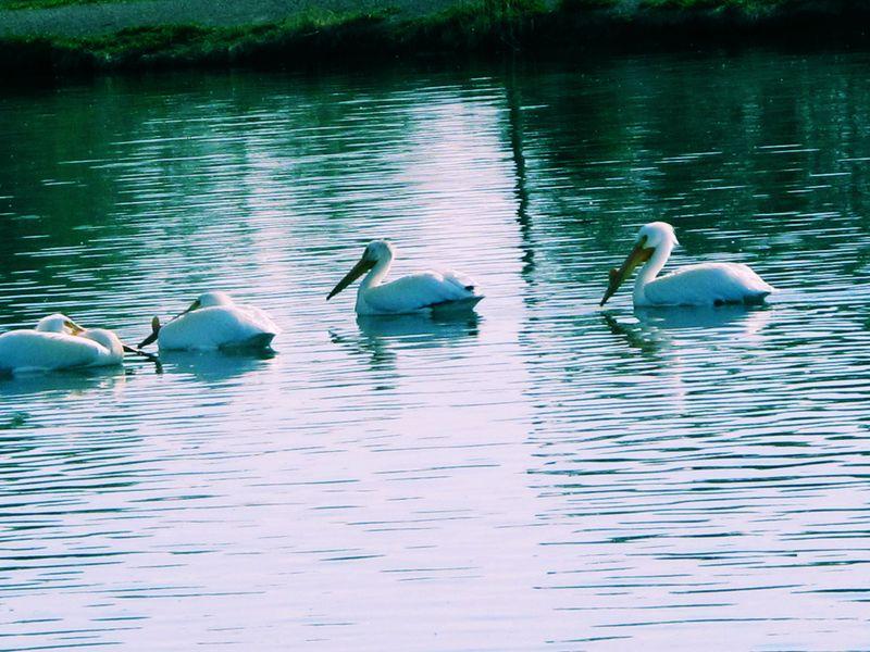 Pelicanloves